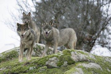 Lobos mudam o comportamento de rios