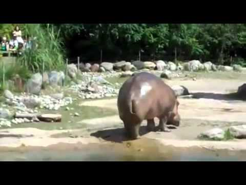 Já viste um hipopótamo dar um peido