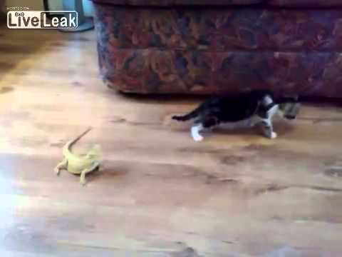 Gato tem encontro inesperado com lagartos