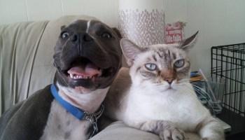 11 Pitbulls que amam os seus gatos