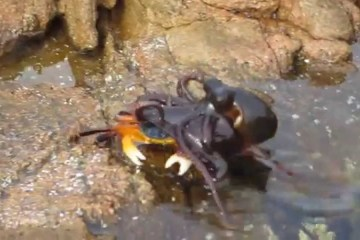 Polvo caça caranguejo em terra