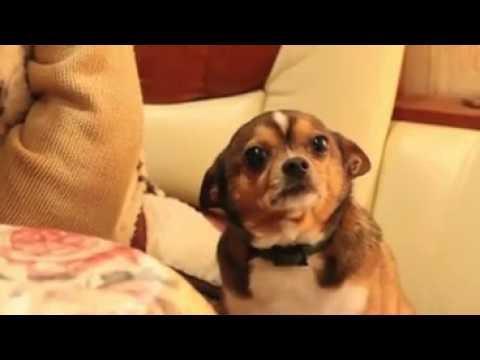 A reacção de um cão ao receber um sermão da dona