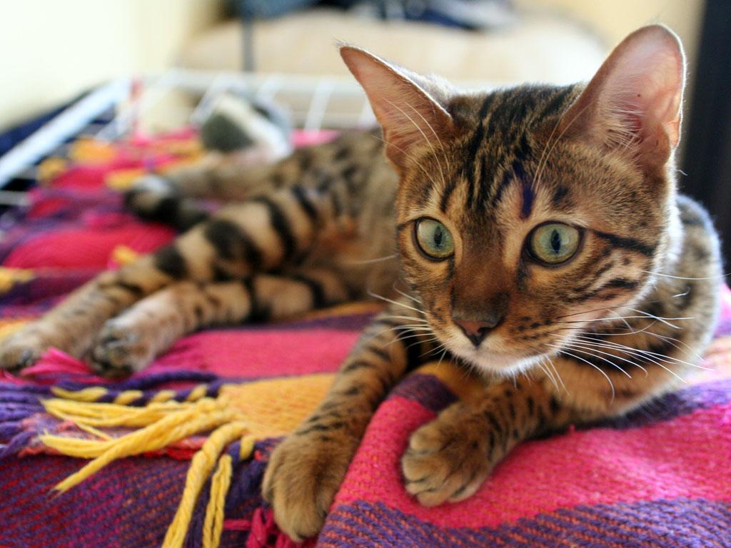 raças de gatos mais caros do mundo - Bengal