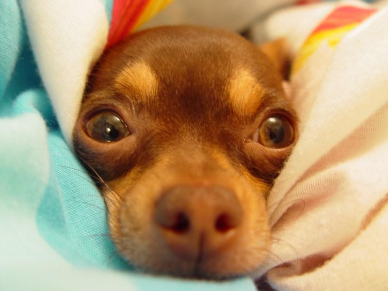 Chihuahua - raças de cães mais caras do mundo