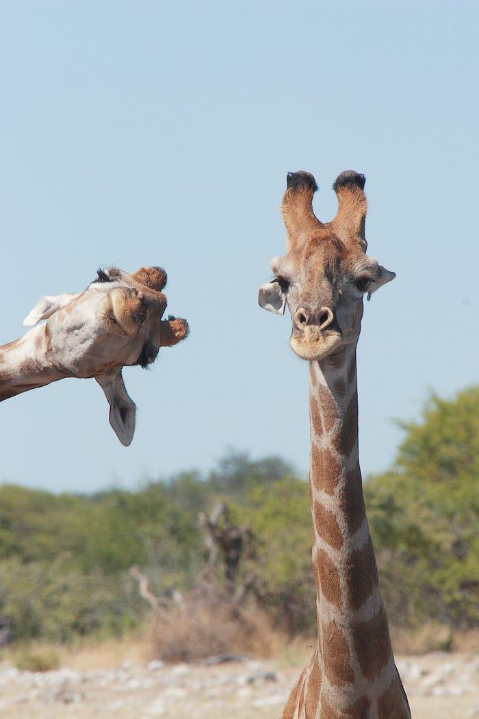 Vida selvagem em fotos hilariantes - Girafas