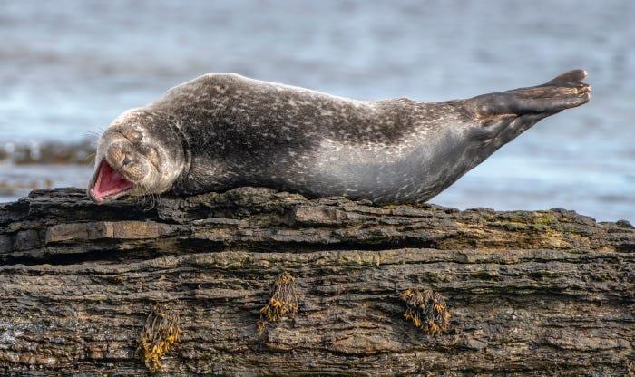 Vida selvagem em fotos hilariantes - foca à gargalhada