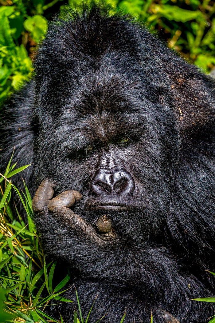 Vida selvagem em fotos hilariantes - gorila chateado