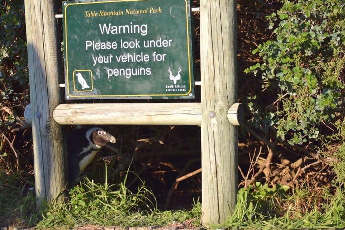 Vida selvagem em fotos hilariantes - pinguim escondido