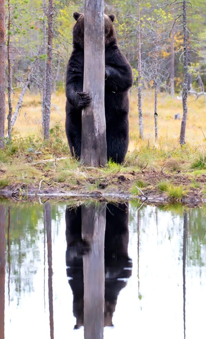 Vida selvagem em fotos hilariantes - urso escondido