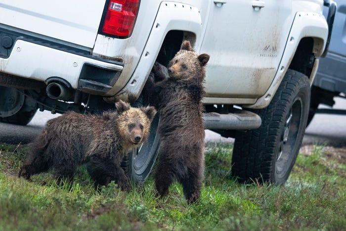 Vida selvagem em fotos hilariantes - ursos mecânicos