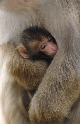 Juvenile macaque in mother's arms