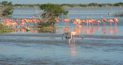 Flamingoes, Yucatan Peninsual, Mexico