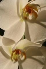 N - Canada - Phaleanopsis pair (white) 2005