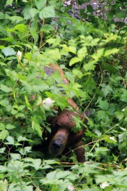 Brown Bear hunting for berries (Note; this image was NOT shot with a zoom lens...)