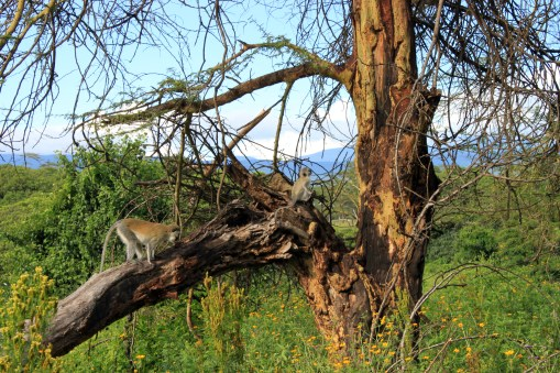 Vervet monkeys up the fever tree