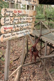 The eldest female at Camp Leakey bids us farewell