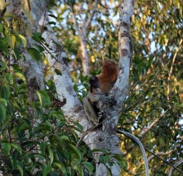 Mother & baby proboscis monkey