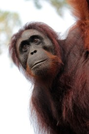 Older orangutan