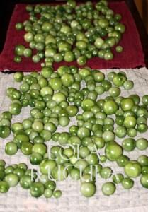 green tomato harvest lola rugula