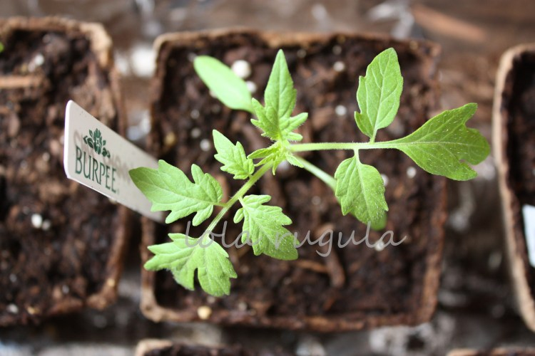 lola-rugula-how-to-start-tomato-plants-indoors