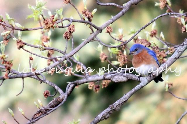 lola-rugula-bluebird