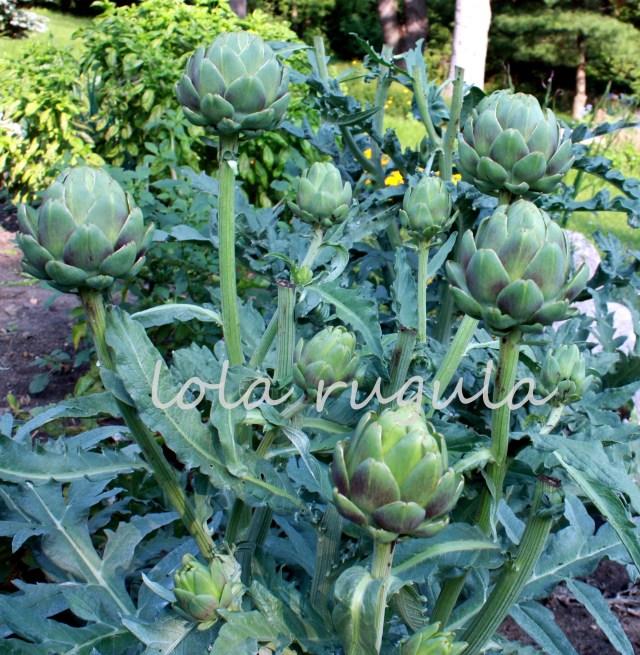 how-to-grow-artichokes-in-zone-5-lola-rugula