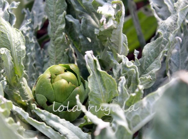 lola-rugula-how-to-grow-artichokes-8.1.15