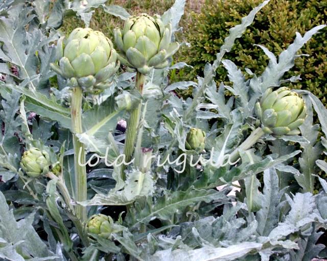 lola-rugula-how-to-grow-artichokes-8.19.15