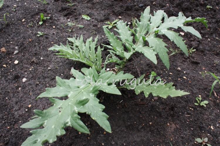 lola_rugula_how-to-grow-artichokes_6.12.15