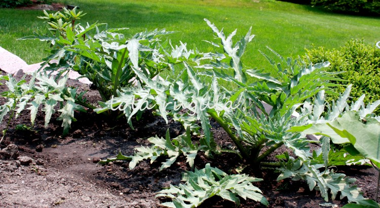 lola_rugula_how-to-grow-artichokes_7.4.15