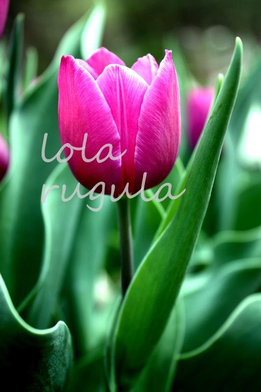lola_rugula_pink_tulip