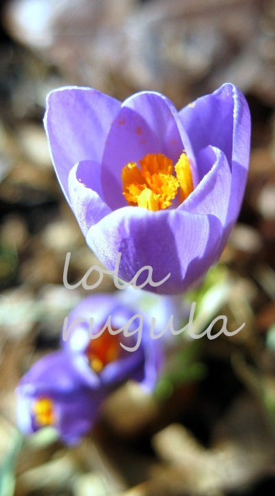 lola_rugula_purple-crocus