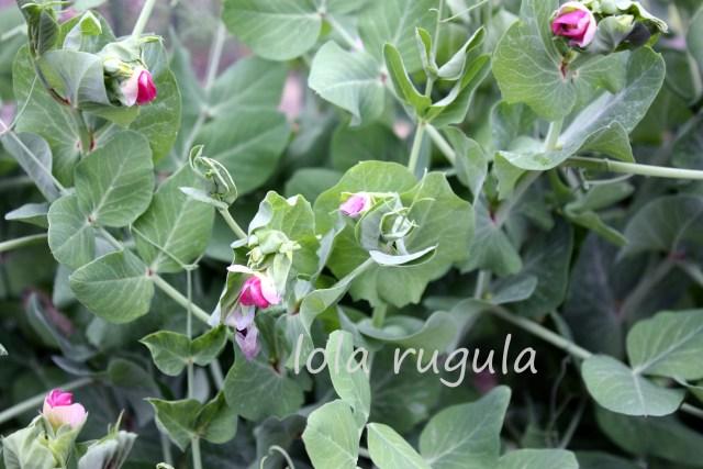 lola rugula purple snow peas photo