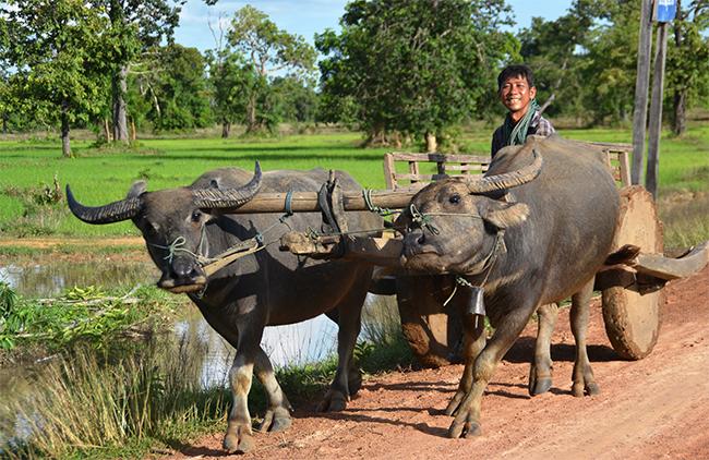 Ox Cart Rural Cambodia