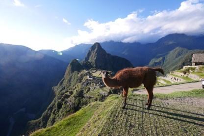 Machu Picchu with llama - Late afternoon