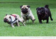 foto-graciosa-perro-carlino-pug-carrera-funny-race