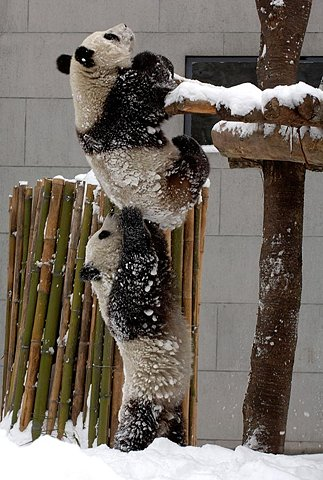 Panda Bear Team Work