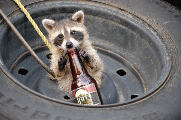 Raccoon Drinking Beer Like A Good Hick