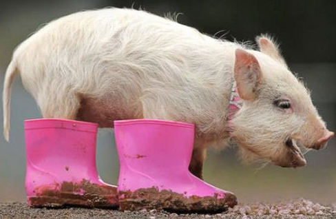 Damn Cute: Pig in pink boots.