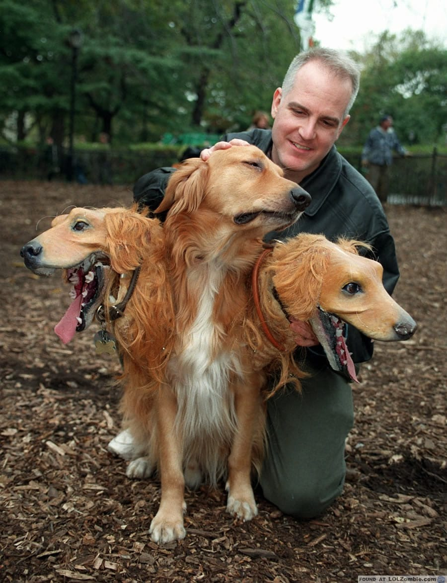 golden retriever with three heads