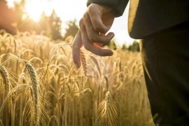 businessman-walking-through-a-golden-wheat-field