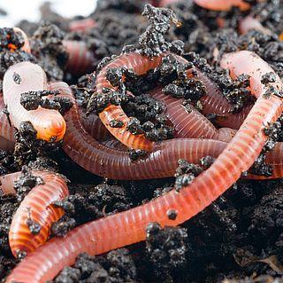 Lombrichi e alimentazione, l'azoto per crescere, il carbonio per riprodursi