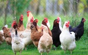 chicken9-380-329