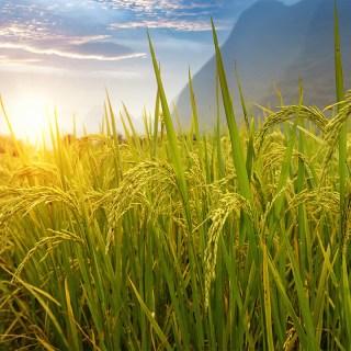 Humus di lombrico: Mirko, quanto ne occorre per coltivare riso?