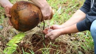 ハワイ島でコアを植樹