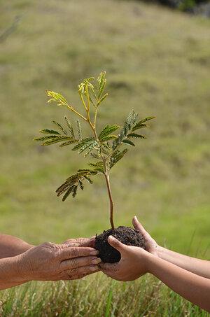 コアの木(KING KOA)の植樹