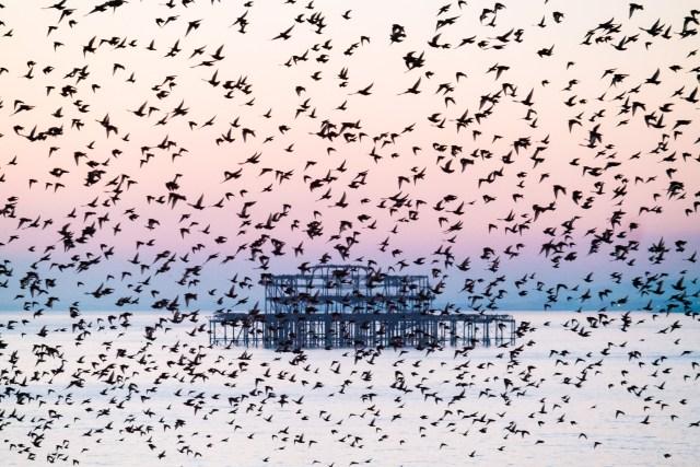 Brighton Starling Murmuration January 2016