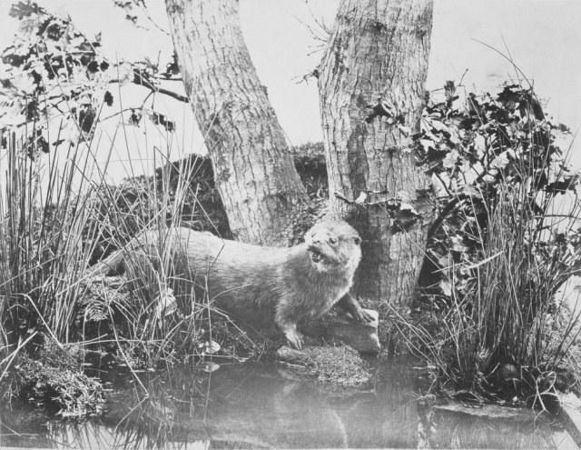 Otter by John Dillwyn Llewellyn 1850