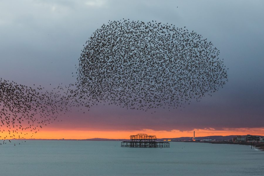 Starling murmuration and Brighton's West Pier
