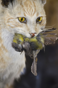 A feral cat and prey. Source: The State of Victoria